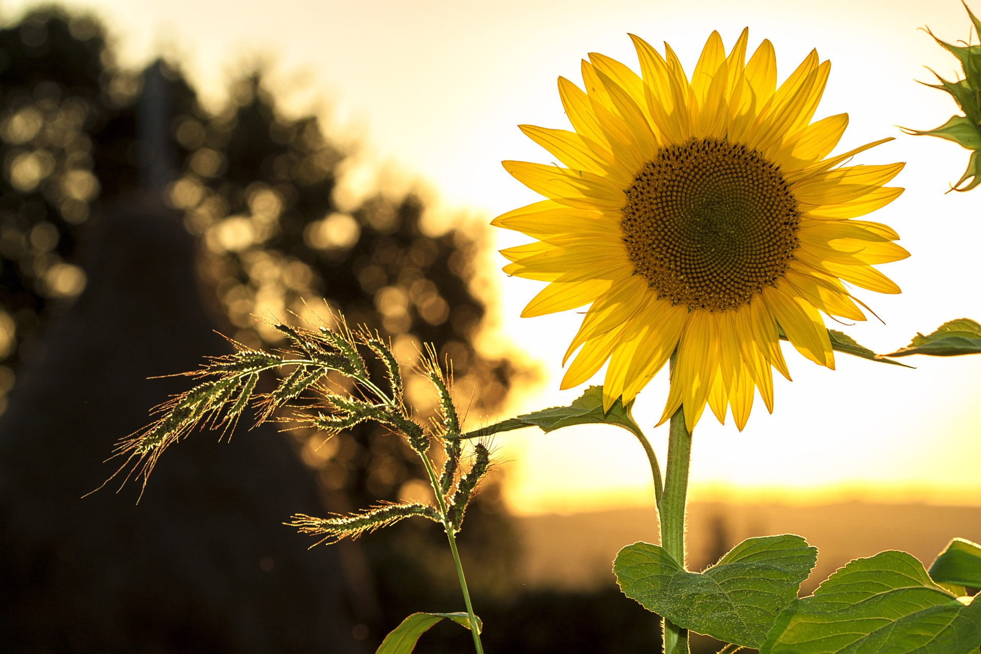 Sunflower with sunset stress management