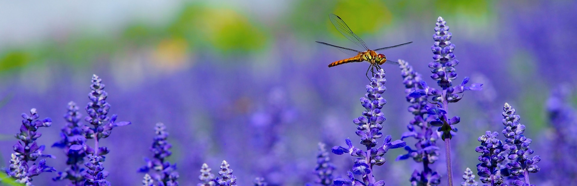 image of a dragonfly and purple flowers